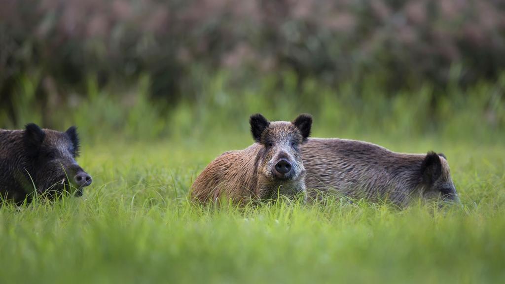 Invasioni di cinghiali, l'esperto afferma che la caccia peggiorerà la situazione